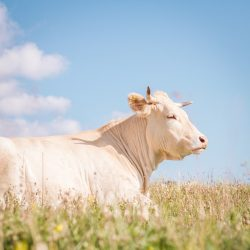 white cow lying on grass